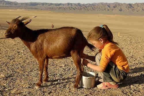 goat-milk